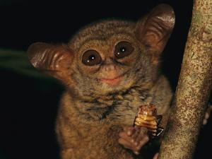 A Tiny Wide-Eyed Tarsier (Tarsius Spectrum) Relishes a Cockroach Snack by Tim Laman