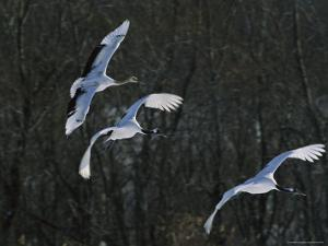 A Trio of Japanese or Red-Crowned Cranes Coming in for a Landing by Tim Laman