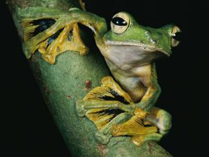 A Wallace's Flying Frog, Rhacophorus Nigropalmatus by Tim Laman