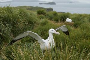 A Wandering Albatross, Diomedea Exulans, Shoos Trespassers Away from its Nest Site by Tim Laman