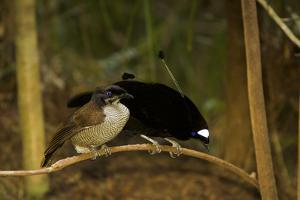 A Western Parotia Bird of Paradise Male Displays for a Female by Tim Laman