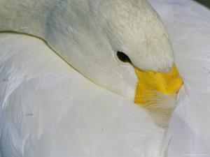 A Whooper Swan Resting with Bill Tucked under Wings by Tim Laman