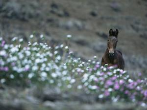 A Wild Horse on a Wildflower-Covered Hillside by Tim Laman