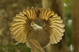A Young Male Paradise Riflebird Performs a Practice Display by Tim Laman