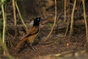 A Young Male Wahnes's Parotia Bird of Paradise Practices At the Display Court of an Adult Male by Tim Laman