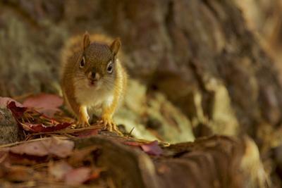 American red squirrel, Tamiasciurus hudsonicus, on the forest floor in autumn. by Tim Laman