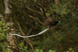 An Adult Male Ribbon Tailed Bird of Paradise in Flight by Tim Laman