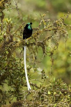 An Adult Male Ribbon Tailed Bird of Paradise Perches on a Tree Branch by Tim Laman