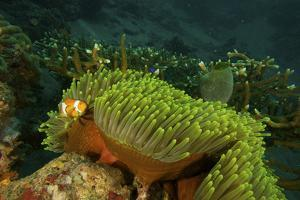 An Anemonefish Keeping Close by a Large Sea Anemone by Tim Laman