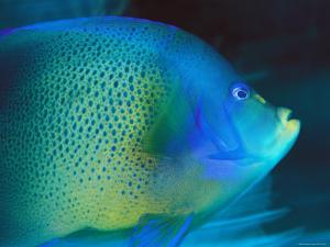 An Angelfish Cruises Fijis Waters by Tim Laman