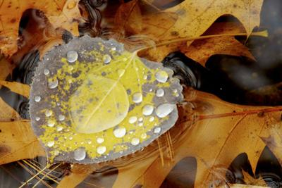 An aspen leaf covered with water droplets floats over oak leaves in Walden Pond. by Tim Laman