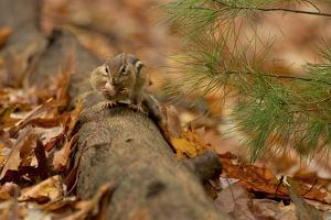 An Eastern chipmunk perched on a fallen log, stuffs acorns into its cheek pouches. by Tim Laman