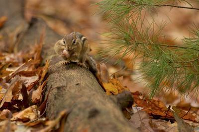 An Eastern chipmunk perched on a fallen log, stuffs acorns into its cheek pouches. by Tim Laman