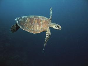 An Endangered Green Sea Turtle Swimming Gracefully in Blue Waters by Tim Laman