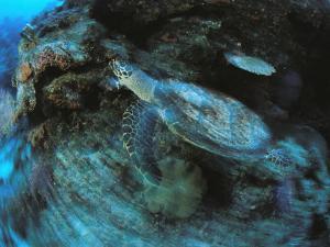 An Endangered Hawksbill Turtle Swims Along a Reef by Tim Laman