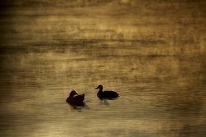 Backlit mallards on Walden Pond at sunrise. by Tim Laman
