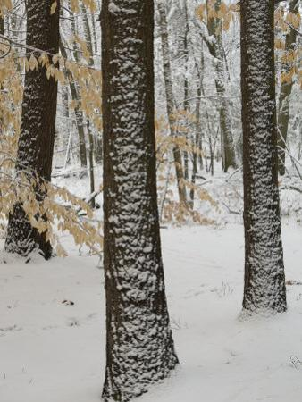 Beech Trees (Fagus Grandifolia) after a Snow Fall by Tim Laman