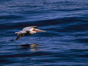 Brown Pelican in Flight over Water by Tim Laman