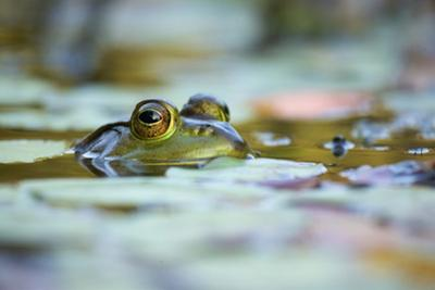 Bullfrog, Rana catesbiana, surfaces among floating plants. by Tim Laman