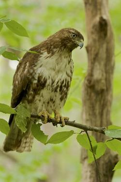 Buteo jamaicensis, a juvenile Red-tailed Hawk, perched on a branch near Walden Pond. by Tim Laman