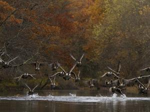 Canada Geese Take Flight, Branta Canadensis, from the Assabet River by Tim Laman