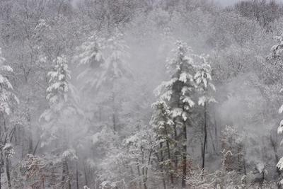 Close-up of snow falling off the trees the morning after a winter storm at Walden Pond. by Tim Laman