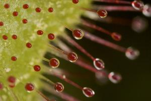 Close up of the sticky hairs of a sundew plant.  Heywood's Meadow at Walden Pond. by Tim Laman