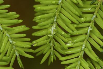 Close-up of wet hemlock needles. by Tim Laman