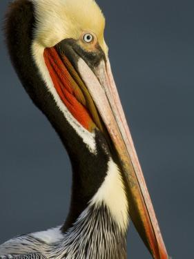 Close Up Portrait of a Brown Pelican, Pelecanus Occidentalis by Tim Laman