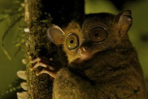 Close Up Portrait of a Western Tarsier, Tarsius Bancanus, in the Rain Forest at Night by Tim Laman