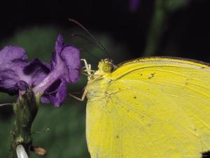 Close View of a Common Grass-Yellow Butterfly on a Purple Flower by Tim Laman