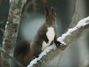 Close View of a Hokkaido Squirrel on a Snow Covered Tree Branch by Tim Laman