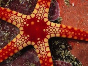 Close View of a Red-Tipped Starfish, Fromia Monilis by Tim Laman