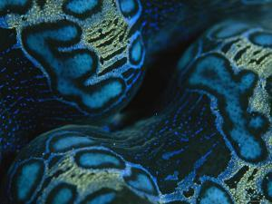 Close View of the Colorful Mantle of a Giant Tridacna Clam by Tim Laman