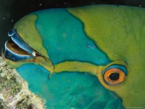 Close View of the Eye and Mouth of a Singapore Parrotfish by Tim Laman