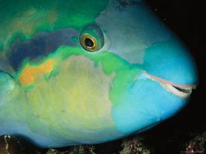 Close View of the Eye and Mouth of a Yellowbarred Parrotfish by Tim Laman