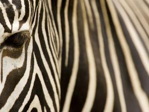 Closeup of a Grevys Zebra's Face and Coat by Tim Laman