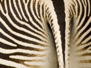 Closeup of a Grevys Zebra's Rear End by Tim Laman