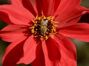 Closeup of a Honey Bee Visiting a Red Flower by Tim Laman