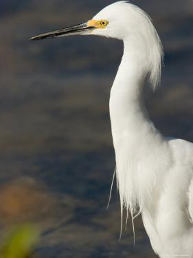 Closeup of a Snowy Egret, Sanibel Island, Florida by Tim Laman