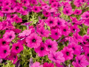 Closeup of Bright Pink Garden Flowers by Tim Laman