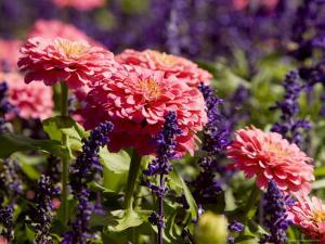 Closeup of Colorful Flowers in Butchart Gardens by Tim Laman
