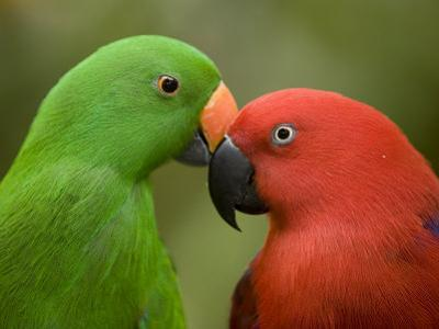 Closeup of Male and Female Eclectus Parrots, Respectively by Tim Laman