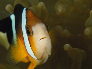 Clown Anemonefish Among the Stinging Tentacles of a Sea Anemone by Tim Laman