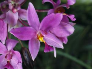 Cluster of Purple Orchids of the Spathoglottis Type by Tim Laman