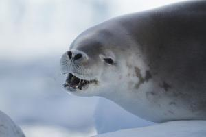 Crabeater Seal, Lobodon Carcinophaga, on an Ice Floe by Tim Laman