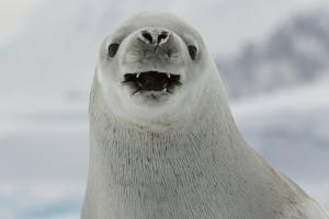 Crabeater Seal, Lobodon Carcinophaga, Portrait by Tim Laman