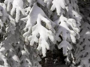 Detail of Snow on Conifer Branches by Tim Laman
