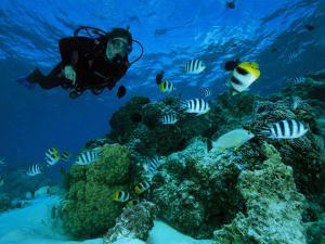 Diver Swimming with Butterfly Fish and Scissor-Tail Sergeants by Tim Laman