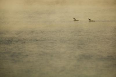 Double-crested Cormorants, Phalacrocorax auritus, in the misty Walden Pond. by Tim Laman